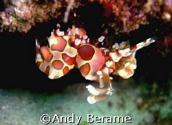 harlequin shrimp @ maribago marine station, lapu-lapu cit... by Andy Berame 